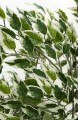 Seidenpflanze bunt Ficus Liana  Höhe 150 cm in dekorativem Kunststoff-Terracotta-Blumentopf