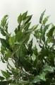 Seidenpflanze grün Ficus Benjamini Höhe 150 cm ohne Blumentopf
